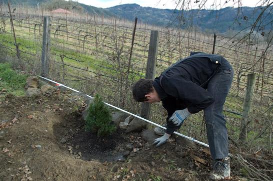 raymond planting Pinus eldarica, mondell pine