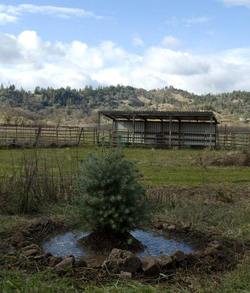 pinus pinea, Italian Stone Pine