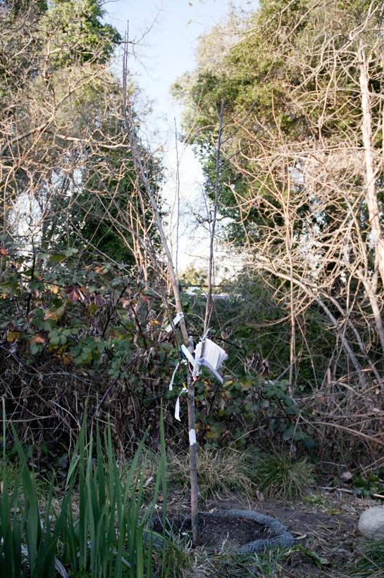 0173 multi graft japanese plum 1000 trees - Graft plum tree tips ...